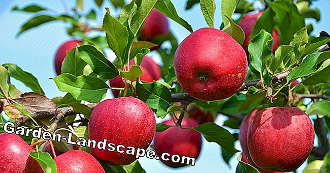 Buy an apple tree: How to find the perfect variety for your garden