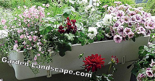 Plant balcony flowers properly