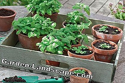 Basil jonge planten in de pot