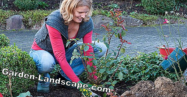 Planting bed roses in the fall