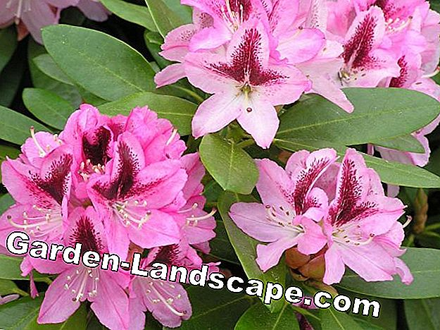 Rhododendron bloem