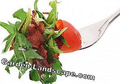 Dandelion salad on a fork