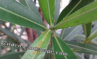Aphids on oleander