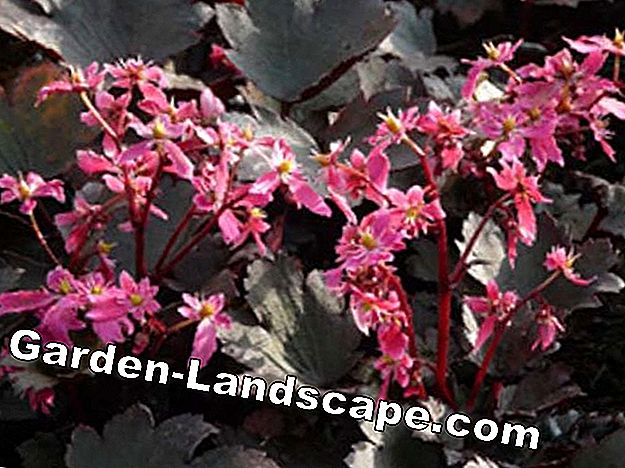 Saxifraga Black Ruby