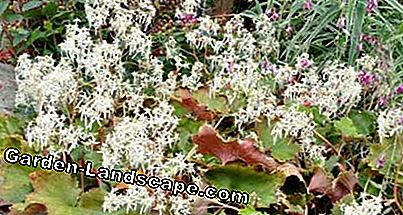 Autumn Saxifrage: The Octoberle: saxifrage