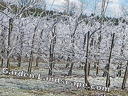 Sweet cherry plantation after an antifreeze irrigation