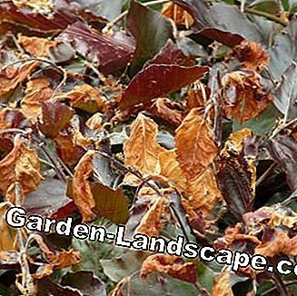Frost damage to a blood hedge