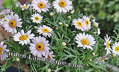 Shrub marguerite (Argyranthemum frutescens)