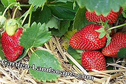 Strawberries with straw as mulch