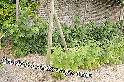 Straw-mulched raspberry bed