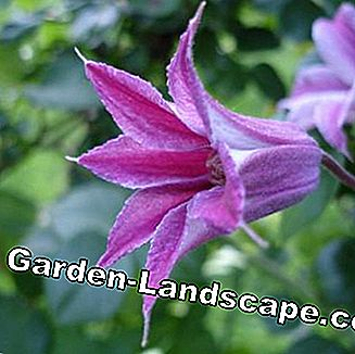 Purple Clematis texensis