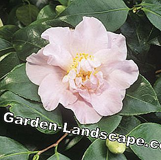 Camellia Camellia japonica Laurie Bray
