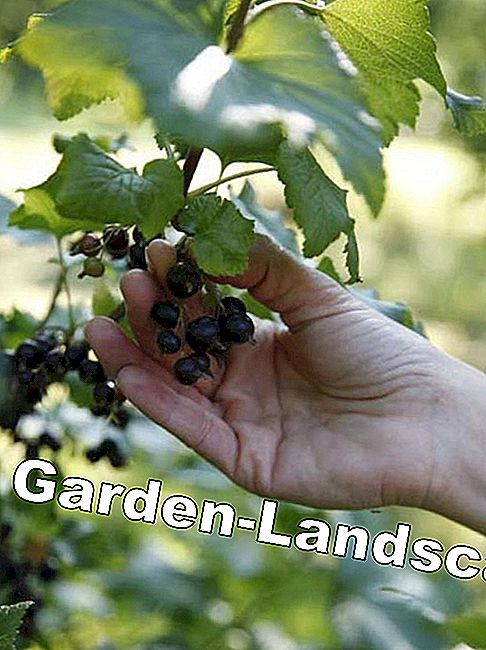 Harvest time for currant and gooseberry: berries