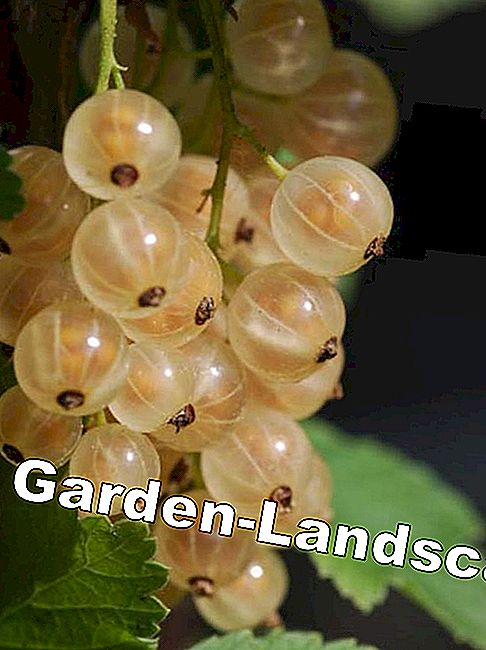 Harvest time for currant and gooseberry: harvest