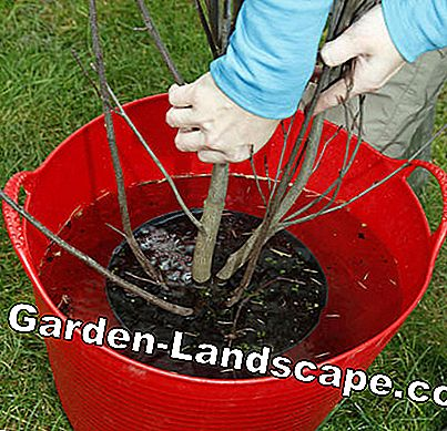 watering red bucket of root ball