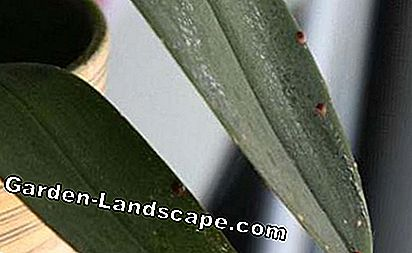 Scale lice on an orchid leaf