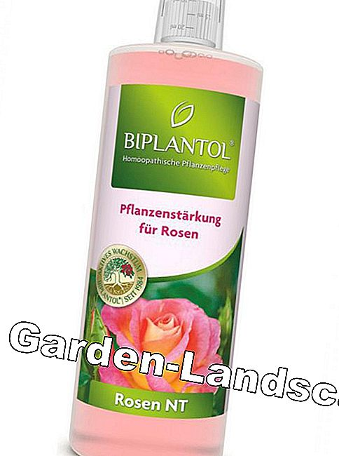 Rose plant strengthening product