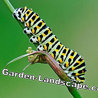 Caterpillar of the swallowtail