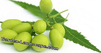 Neem tree fruits