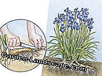 To multiply perennials: All methods at a glance: cuttings