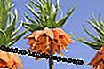 Imperial Crown (Fritillaria imperialis)
