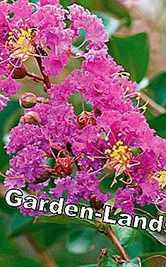 Crepe Myrtle (Lagerstroemia)