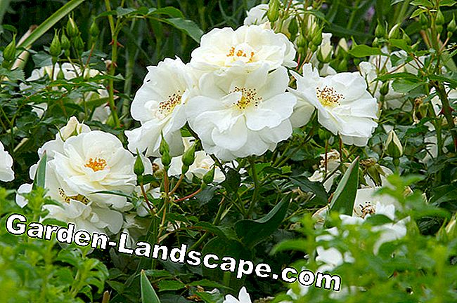 Small shrub roses: Easy-care mature bloomers: shrub