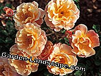 Small shrub roses: Easy-care mature bloomers: small