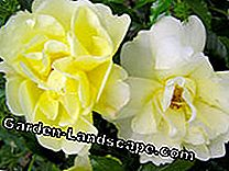 Small shrub roses: Easy-care mature bloomers: shrub roses