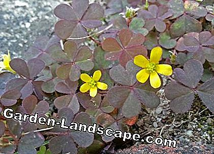 Sour clover (Oxalis corniculata) in pavement joints