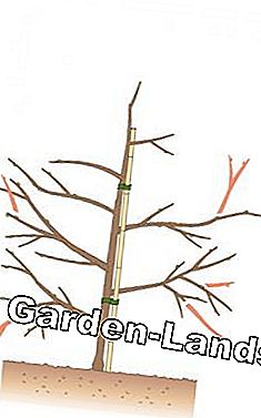Fruit tree cut: remove unfavorably growing shoots
