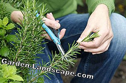 Cut off rosemary cuttings