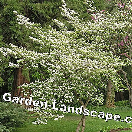 Flower Dogwood (Cornus florida)