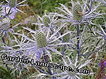 Thistles: prickly, but beautiful: Eryngium