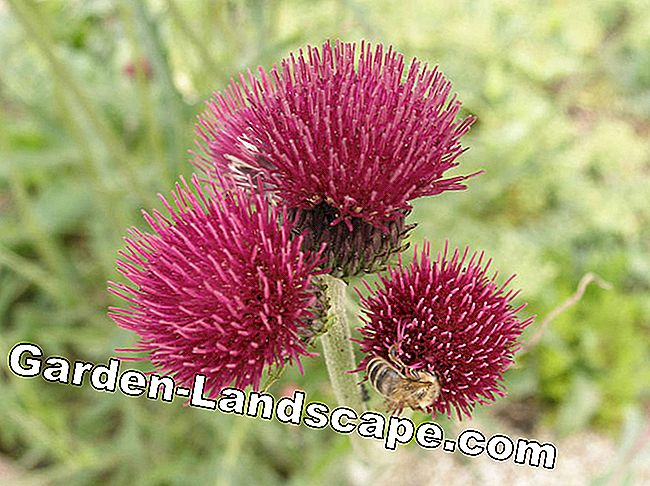 Thistles: prickly, but beautiful: beautiful