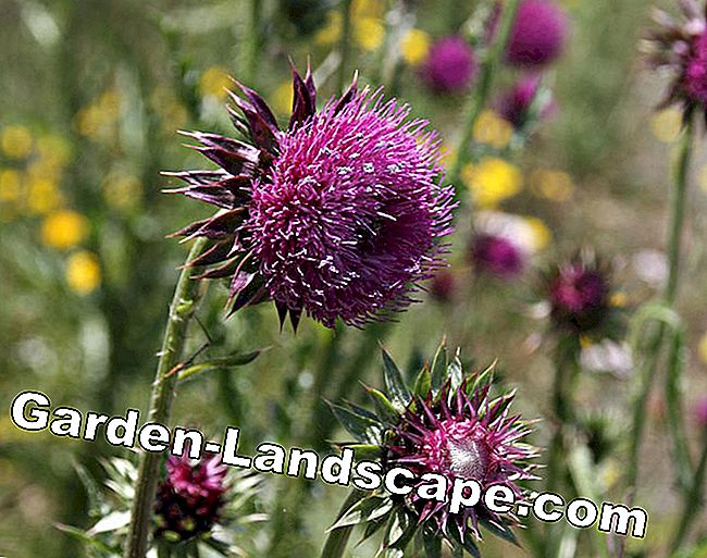 Thistles: prickly, but beautiful: flower