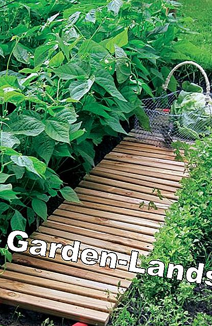 Wooden slat path in the vegetable patch