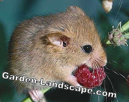 Dormouse äter berry