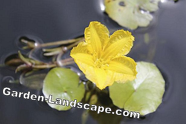 yellow, floating water lily flower