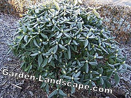 Rhododendron in de winter