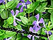 Evergreen, Vinca major