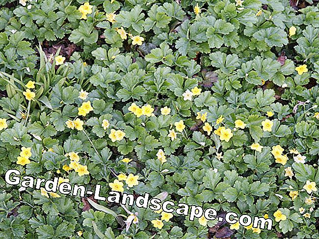 Ground Cover: The easy-care grave planting: grave