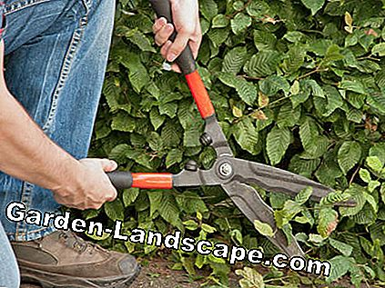 Hedge trimmer in use