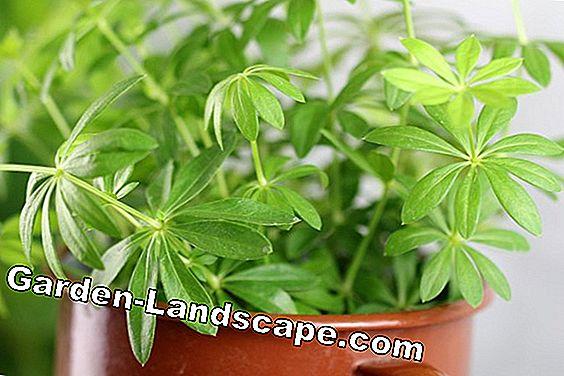 Garden Practice: Edible wild herbs determine: list with 20 herbs | 2019