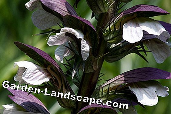 Bear Claw - Acanthus