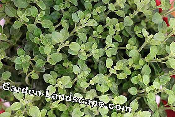 Herb bed oregano