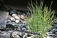 Field horsetail grows in our latitudes practically everywhere