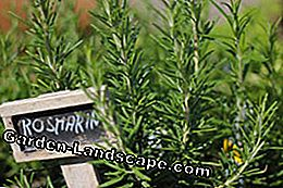 Rosemary multiplicera tips