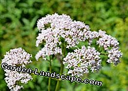 multiply valerian - possible variants presented
