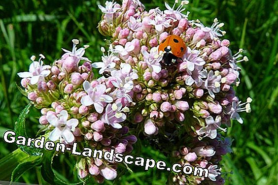 Valerian, Valeriana officinalis - plants and care: plant
